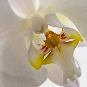 Orchid-Princess2