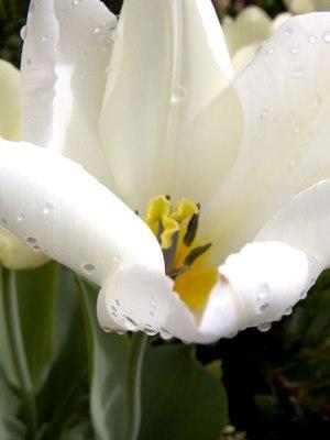 White-Tulip1