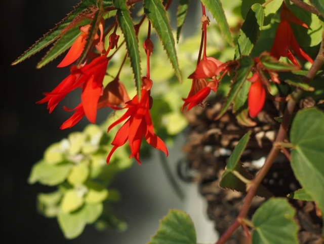 Begonia Wildfire