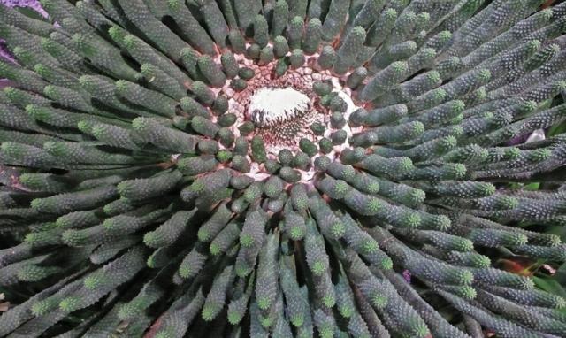 6 EuphorbiaEsculenta