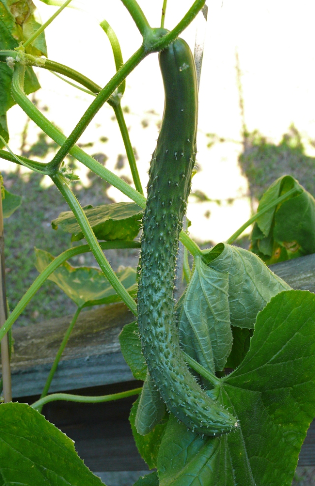 Chinese cucumber — Dongkai says it has thin skin, no seeds, and delicious, crunchy texture