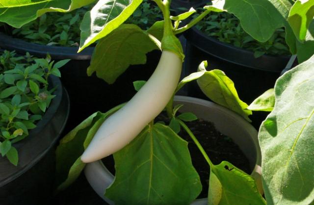 White-skinned eggplant