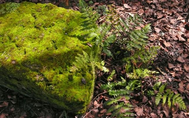 Moss-Fern